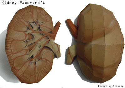 Kidneys Papercraft